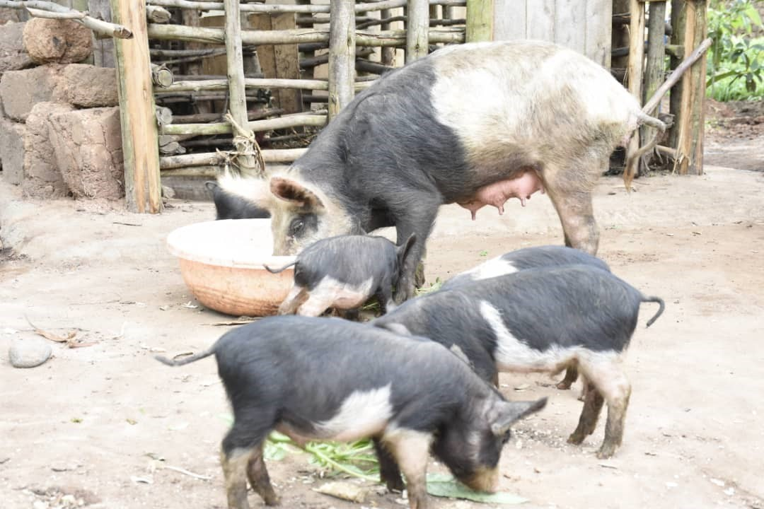 Positive impact of piggery project at Family level